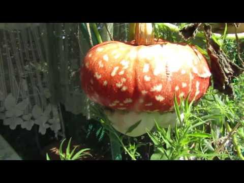 3. САД Чалмовидная тыква