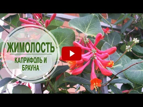Садовые лианы 🌺 Жимолость Каприфоль и Брауна 🌺 Особенности выращивания