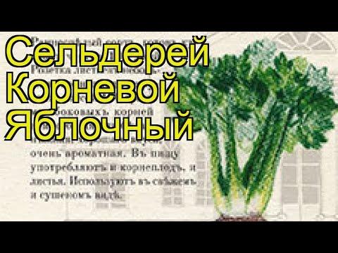 Сельдерей корневой Яблочный. Краткий обзор, описание характеристик, где купить семена apium