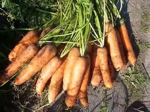 сбор урожая гибридной моркови одно удовольствие