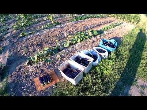баклажан фабина ф1 урожай 2017 108шт 35кг