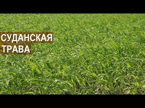 Зачем нужна суданская трава? КФХ Колесниковых