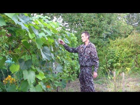 Уход за виноградом во время созревания ягод. Август.