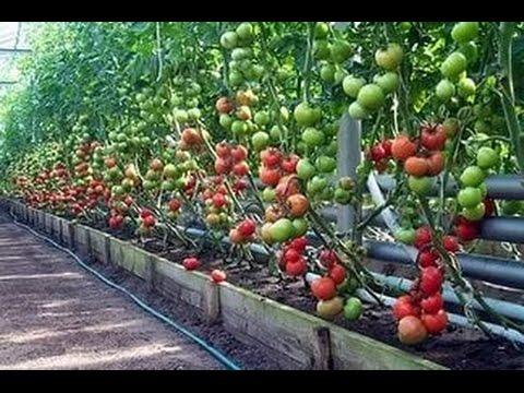 томаты индетерминантные,детерминантные,супер деторминантные