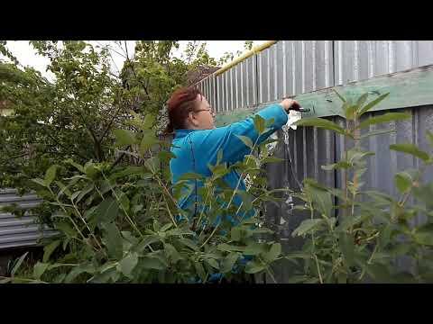 Защита жимолости от дроздов