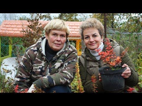 Осенние кустарники Барбарисы из семян!