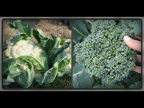 Цветная капуста и брокколи. Питание и удобрение