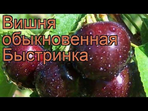 Вишня обыкновенная Быстринка (prunus cerasus bystrinka) 🌿 обзор: как сажать, саженцы вишни Быстринка