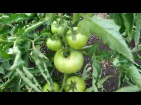 (86) Высадка саженцев томата из пасынков Пинк Клер F1 и Сашер F1 (09.06.18)