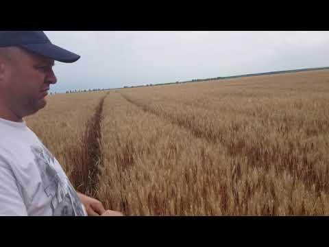 Московская 40. Озимая пшеница в Золотом теленке