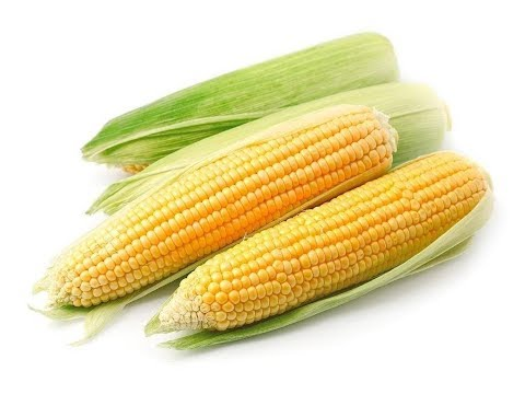 Сахарная кукуруза. Как получить максимальный урожай?