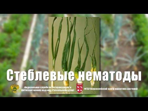 Стеблевые нематоды картофеля и лука