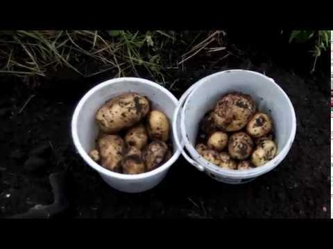 """Картофель сорт """"Коломбо"""" урожай 2018 год."""