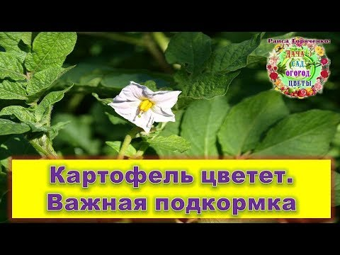 Картофель цветет. Важная подкормка