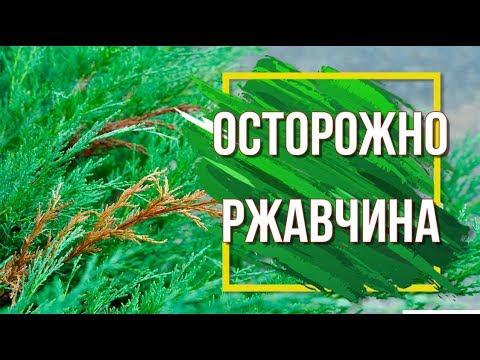 ОСТОРОЖНО РЖАВЧИНА На Растениях ✔️ Как Лечить Заболевание 🌱Средство От Заболеваний ПРОГНОЗ сад