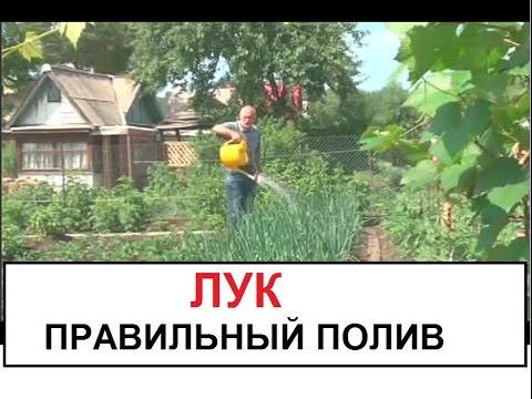 Правильный полив лука