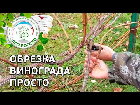 Обрезка винограда осенью. Как правильно обрезать виноград осенью.