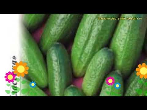 Огурец Гинга F1 (Огурец). Краткий обзор, описание характеристик, где купить семена cucumis sativus