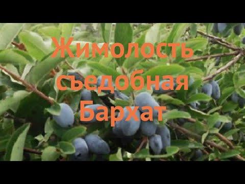 Жимолость съедобная Бархат 🌿 обзор: как сажать, саженцы жимолости Бархат