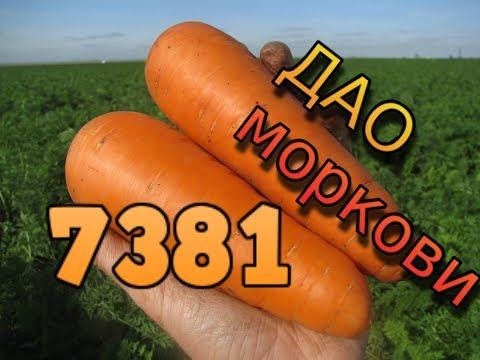 Морковь 7381 (Seminis). Главные секреты успешного выращивания. Как вырастить морковь на хранение