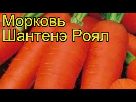 Морковь Шантенэ Роял. Краткий обзор, описание характеристик, где купить семена daucus carota