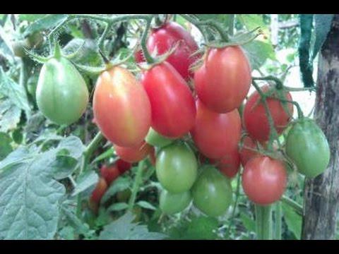 Мои любимые томаты. Чио - Чио - сан