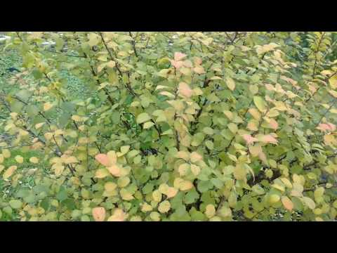 Размножение войлочной вишни косточкой. 2017г. октябрь.