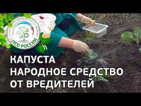 🥦 Борьба с вредителями капусты брокколи народными средствами. Чем обработать капусту брокколи.