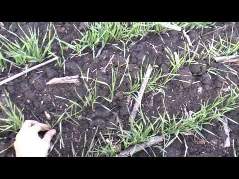 30 октября подкормка пшеницы