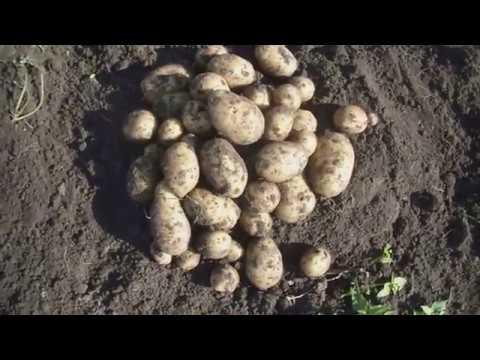 картофель из семян сорт Лада и Фермер (часть 2)