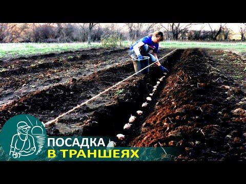 🌿 Посадка картофеля при выращивании по траншейной технологии Гордеевых