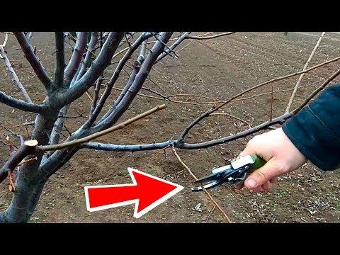 Как правильно обрезать деревья алычи ! / how to prune plum trees