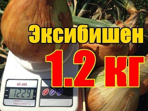 Технология выращивания гигантского лука Эксибишен / От семечки до луковицы 1230 грамм