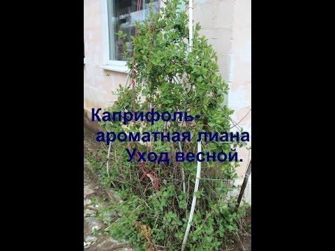 Каприфоль- ароматная лиана.Уход весной.
