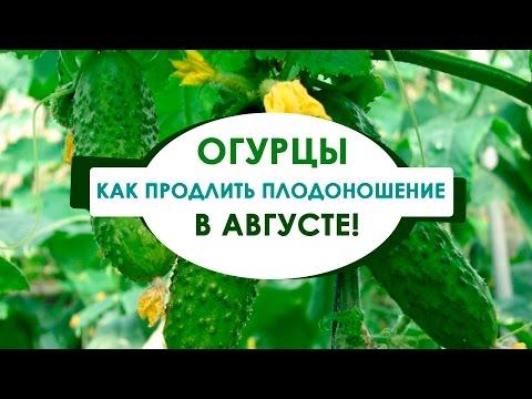 Как продлить плодоношение огурцов в открытом грунте! В августе!