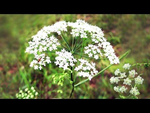 Тмин в народной медицине. Лечение тмином, польза, свойства и применение тмина