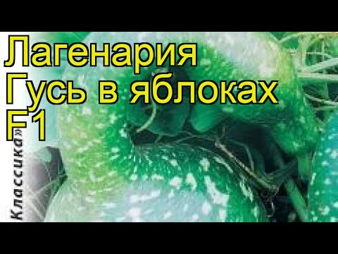 Лагенария Гусь в яблоках F1. Краткий обзор, описание характеристик, где купить семена lagenaria