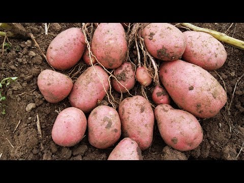 Картофель. Самые урожайные сорта