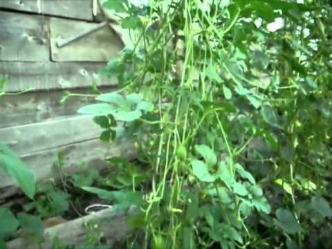 Ангурия. Сирийский огурец. Агротехника выращивания.