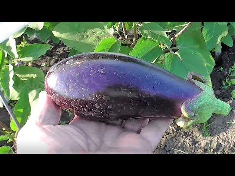 Опыт выращивания баклажана сорта ЧЕРНЫЙ КРАСАВЕЦ в открытом грунте