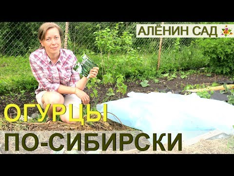 ОГУРЦЫ ПО-СИБИРСКИ / Как выращивают огурцы в Сибири