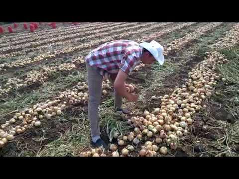 Опыт выращивания лука Рекс F1 в Волгоградской области