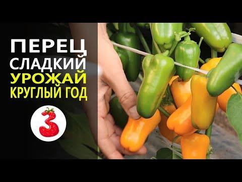 ПЕРЕЦ СЛАДКИЙ ЛИСИЧКА самый пикантный и милый перчик, урожай круглый год