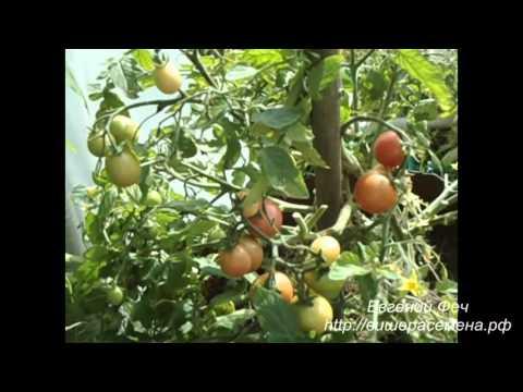 Сорт помидора Буш