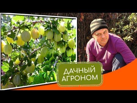 Как правильно посадить крыжовник Особенности посадки крыжовника осенью и уход
