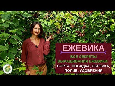 ЕЖЕВИКА - посадка, обрезка, уход//Все секреты большого урожая