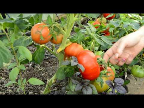 Оценка томатов 2016 года: Диаболик, Хайпил, Взрыв.