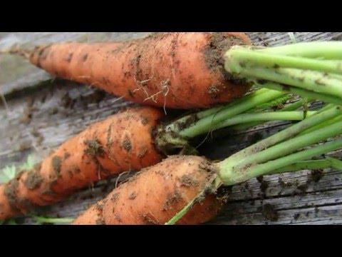 Подготовка семян моркови к посеву