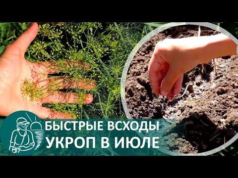 ☘ Посадка укропа в июле: быстрые всходы, выращивание зелени летом