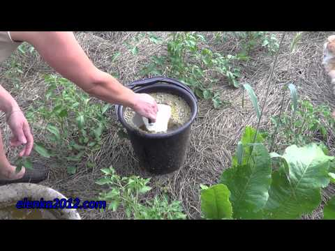 Как удобрять помидоры, подкормка томатов